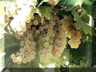 uva bianca per il tacchino all'uva
