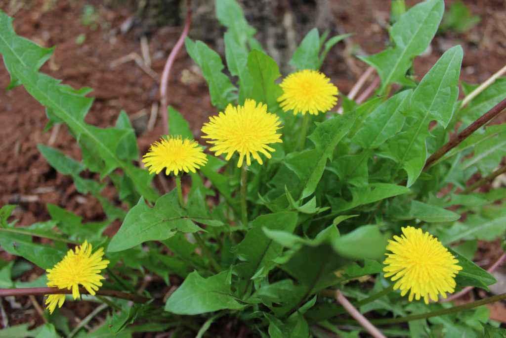 piante spontanee commestibili tarassaco officinale