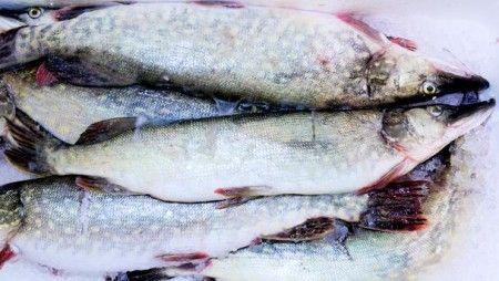 pesce luccio fresco